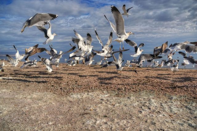 Desert Shores Gulls Take Off