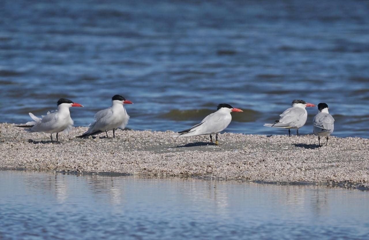 5 Caspian Tern Salton Sea Beach